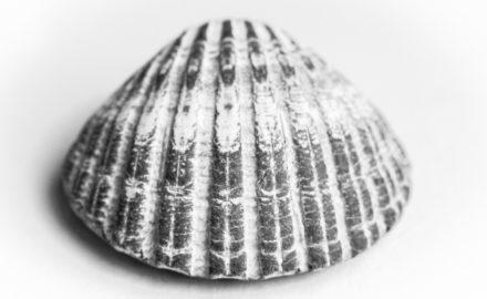 Muschel in Schwarz-Weiß