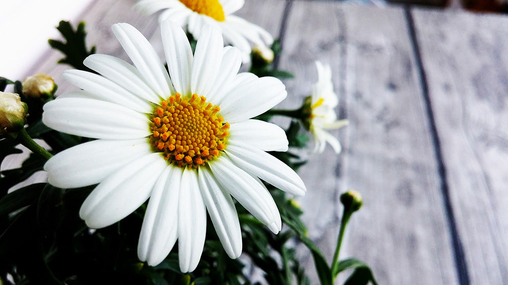 beautiful-daisy-flower
